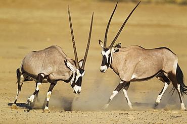 Gemsboks (Oryx gazella), fighting females, Kalahari Desert, Kgalagadi Transfrontier Park, South Africa, Africa
