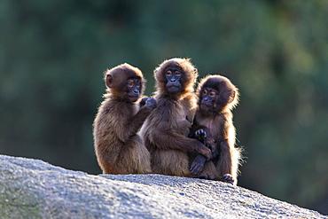 Geladas (Theropithecus gelada), young animals sit together on rocks, backlight, captive