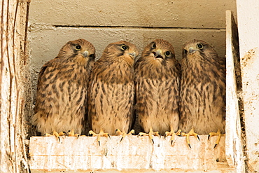 Four young common kestrels (Falco tinnunculus) in nest box, Hesse, Germany, Europe