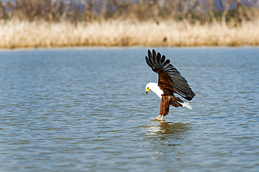 African fish eagle (Haliaeetus vocifer) catching prey in water, Lake Baringo, Kenya, Africa