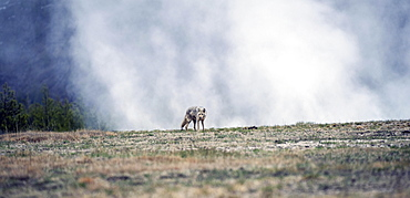 Coyote (Canis latrans), Geyser behind, Yellowstone National Park, Wyoming, USA, North America