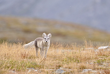 Arctic fox (Vulpes lagopus, Alopex lagopus), young in Fjell, Dovrefjell-Sunndalsfjella National Park, Norway, Europe