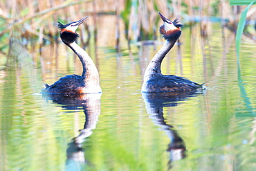 Great Crested Grebes (Podiceps cristatus) doing a mating dance, Canton of Vaud, Switzerland, Europe