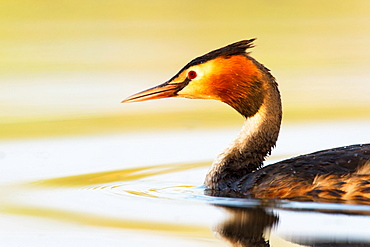 Great Crested Grebe (Podiceps cristatus) in the water, Canton of Vaud, Switzerland, Europe