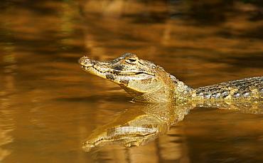 Yacare caiman (Caiman Yacare, Caiman crocodilus yacare), in water, Pantanal, Brazil, South America