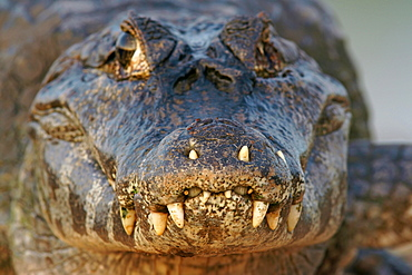 Yacare caiman (Caiman Yacare, Caiman crocodilus yacare) portrait, Pantanal, Brazil, South America