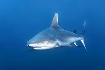 Grey Reef Shark (Carcharhinus amblyrhynchos), Indian Ocean, Maldives, Asia
