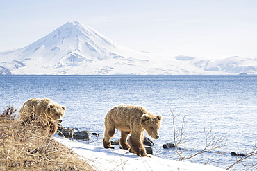 Brown bear (Ursus arctos), young bears walking along the banks, Kamchatka, Russia, Europe