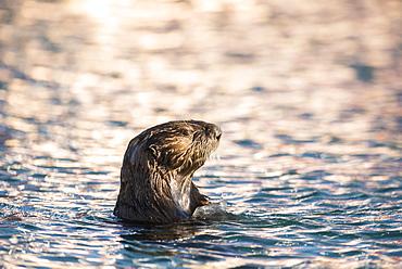 Sea Otter (Enhydra lutris) in the evening light, Seward, Alaska, United States, North America
