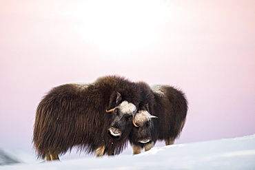 Musk oxes (Ovibos moschatus), mother with young animal in the evening light, Dovrefjell Sunndalsfjella National Park, Norway, Europe