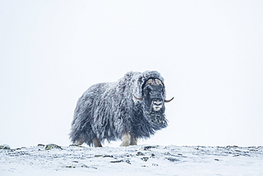 Musk ox (Ovibos moschatus), Male in a Snowstorm, Dovrefjell-Sunndalsfjella National Park, Norway, Europe