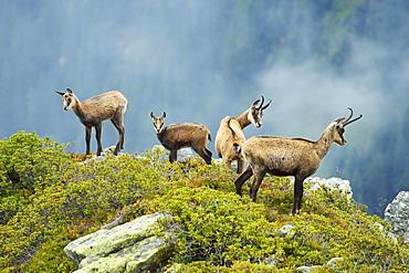 Group chamois (Rupicapra rupicapra) with pups, Bernese Oberland, Switzerland, Europe