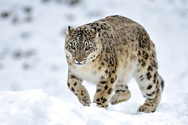 Snow Leopard (Panthera uncia), male in the snow, captive, Switzerland, Europe