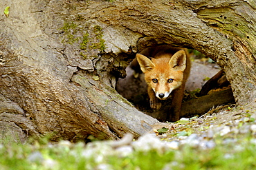 Young Red Fox (Vulpes vulpes), Canton of Basel, Switzerland, Europe