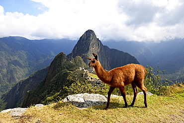 Llama (Lama glama) in front of ruined city, Inca city of Machu Picchu, Huayna Picchu Mountain behind, World Heritage Site, Urubamba, Cusco Province, Peru, South America