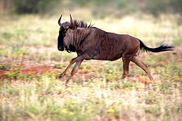Blue Wildebeest (Connochaetes taurinus), adult, running, Tswalu Game Reserve, Kalahari Desert, North Cape, South Africa, Africa