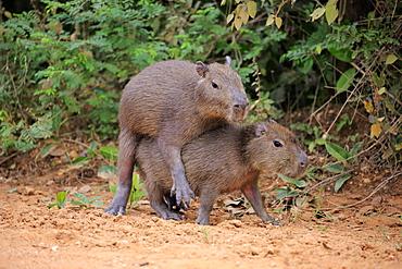 Capybara (Hydrochoerus hydrochaeris), young animals, on land, social behavior, playing, Pantanal, Mato Grosso, Brazil, South America