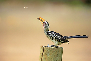 Southern Yellow-billed Hornbill (Tockus leucomelas), adult, sits on pole, Kruger National Park, South Africa, Africa