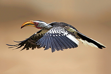 Southern Yellow-billed Hornbill (Tockus leucomelas), adult, flying, Kruger National Park, South Africa, Africa