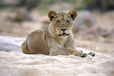 Lion (Panthera leo), adult female, attentive, observing, sitting in dry riverbed, Sabi Sand Game Reserve, Kruger National Park, South Africa, Africa
