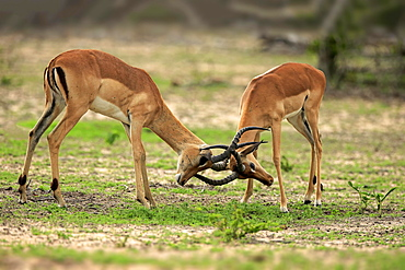 Impalas (Aepyceros melampus), two males fighting, Sabi Sand Game Reserve, Kruger National Park, South Africa, Africa