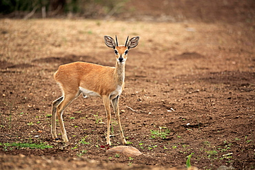 Steenboks (Raphicerus campestris), adult male, attentive, Kruger National Park, South Africa, Africa