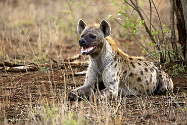 Spotted hyena (Crocuta crocuta), adult lying on ground, alert, Kruger National Park, South Africa, Africa