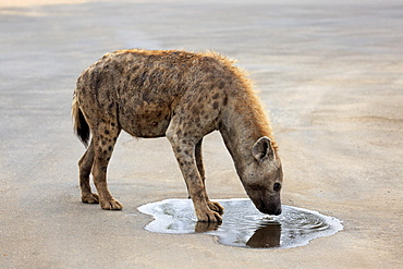 Spotted hyena (Crocuta crocuta), adult, drinking at puddle, Kruger National Park, South Africa, Africa