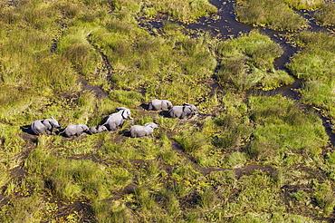 African Elephants (Loxodonta africana), breeding herd, roaming in a freshwater marsh, aerial view, Okavango Delta, Botswana, Africa
