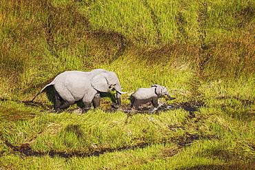African Elephants (Loxodonta africana), cow with calf, roaming in a freshwater marsh, aerial view, Okavango Delta, Botswana, Africa