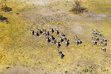 Burchell's Zebras (Equus quagga burchelli), roaming, aerial view, Okavango Delta, Botswana, Africa