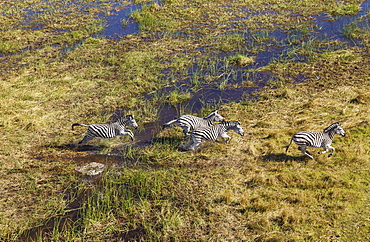 Burchell's Zebras (Equus quagga burchelli), running in a freshwater marsh area, aerial view, Okavango Delta, Botswana, Africa