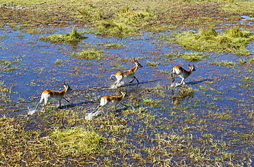 Red Lechwe (Kobus leche leche), different aged males, running in a freshwater marsh, aerial view, Okavango Delta, Botswana, Africa