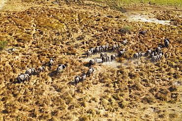 African Elephants (Loxodonta africana), breeding herd, roaming, top right a Hippopotamus (Hippopotamus amphibius), aerial view, Okavango Delta, Botswana, Africa