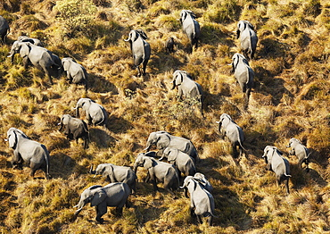African Elephants (Loxodonta africana), breeding herd, roaming, aerial view, Okavango Delta, Botswana, Africa