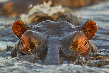 Hippopotamus (Hippopotamus amphibius) in the water, close-up, in the the Chobe River, Chobe National Park, Botswana, Africa