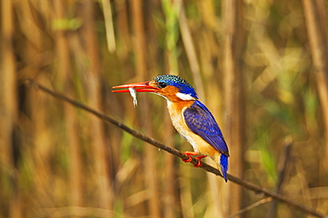Malachite Kingfisher (Alcedo cristata), with prey at the bank of the Chobe River, Chobe National Park, Botswana, Africa