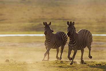 Burchell's Zebra (Equus quagga burchelli), have been unsuccessfully chased, Chobe National Park, Botswana, Africa