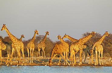 South African giraffes (Giraffa camelopardalis giraffa) meeting at waterhole, evening light, Etosha National Park, Namibia, Africa
