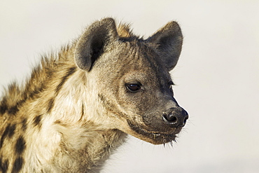 Spotted Hyaena (Crocuta crocuta), juvenile, Etosha National Park, Namibia, Africa