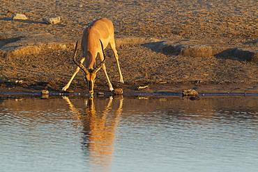 Black-Faced Impala (Aepyceros melampus petersi), male, drinking at a waterhole in the last light of the evening, Etosha National Park, Namibia, Africa
