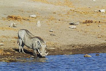 Warthog (Phacochoerus aethiopicus), female, drinking at a waterhole, Etosha National Park, Namibia, Africa