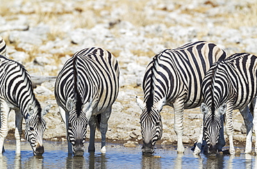 Burchell's zebras (Equus quagga burchellii) drinking at waterhole, Etosha National Park, Namibia, Africa