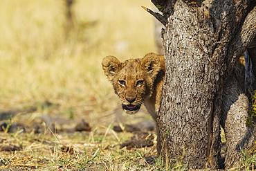 Lion (Panthera leo), cub, Savuti, Chobe National Park, Botswana, Africa