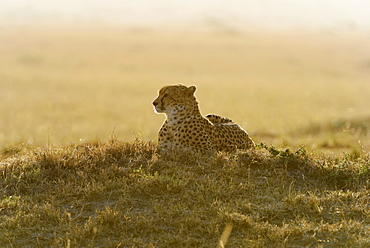 Cheetah (Acinonyx jubatus), in the morning, backlit, Maasai Mara National Reserve, Narok County, Kenya, Africa