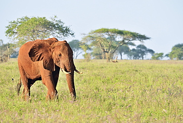 African Elephant bull (Loxodonta africana) in the morning light, coloured by red earth, Tsavo West, Kenya, Africa