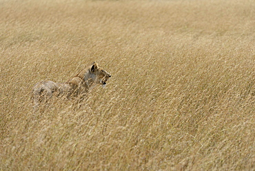 Lioness (Panthera leo) on the lookout, in the tall grass, Maasai Mara National Reserve, Narok County, Kenya, Africa