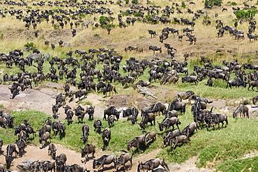 Herd of wildebeests or gnus (Connochaetes taurinus) gather at the Sand River, Maasai Mara National Reserve, Narok County, Kenya, Africa