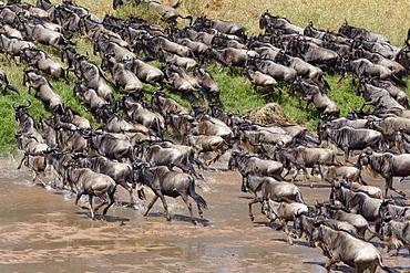 Herd of wildebeests or gnus (Connochaetes taurinus) crossing the Sand River, Maasai Mara National Reserve, Narok County, Kenya, Africa