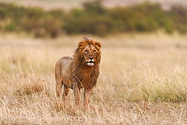 Male lion (Panthera leo) in morning light, Masai Mara, Narok County, Kenya, Africa